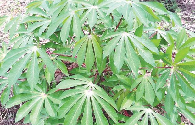 Les feuilles de manioc (Pondu), aliment de base de beaucoup de Congolais -