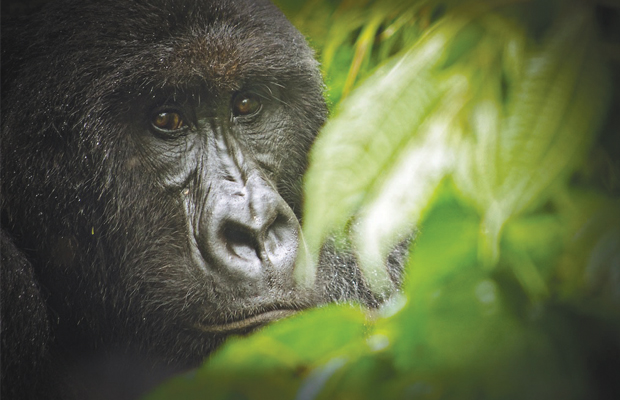 Le gorille de montagne dans le Parc de Virunga en RD Congo By LuAnne Cadd (LuAnne Cadd) [CC-BY-SA-3.0], via Wikimedia Commons