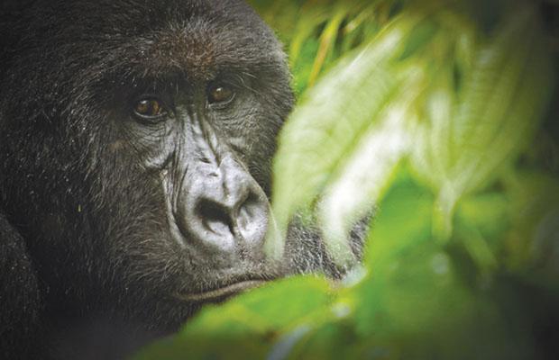Une gorille des montagnes au parc des Virunga. (Photo DR)