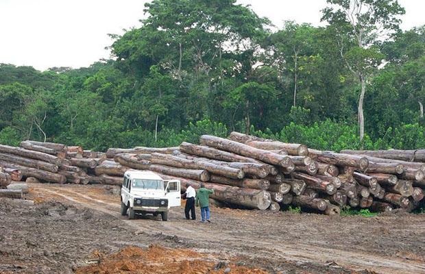 Troncs d'arbres dans une concession à Isangi dans la Province Orientale. (Photo Radio Okapi)