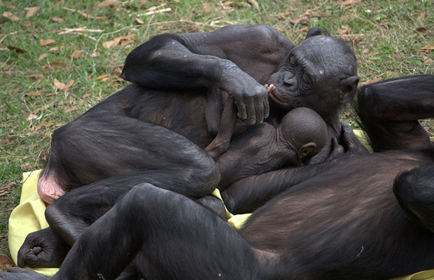 """Le sanctuaire """"Lola ya Bonobo"""" reçoit plus de 30 mille visiteurs. (Ph. DR)"""