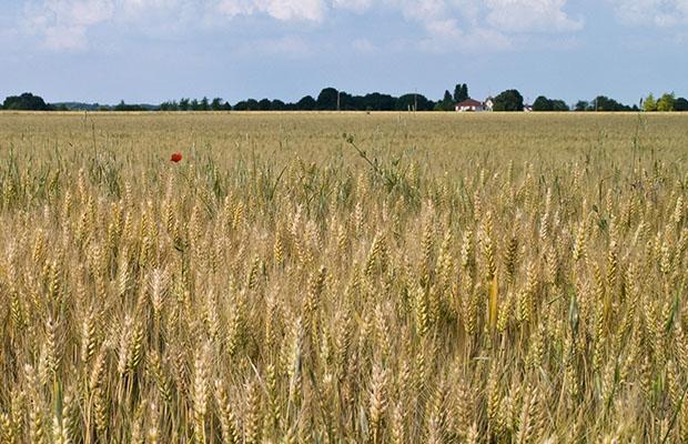 Un champ de blé. (Photo DR)