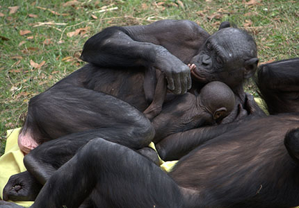 feature__0014_13_01 – Bonobo. (Wikipedia)