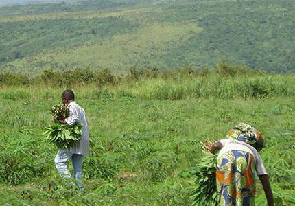 feature__0016_14_01 – Récolte des feuilles de manioc. (Photo BEF)