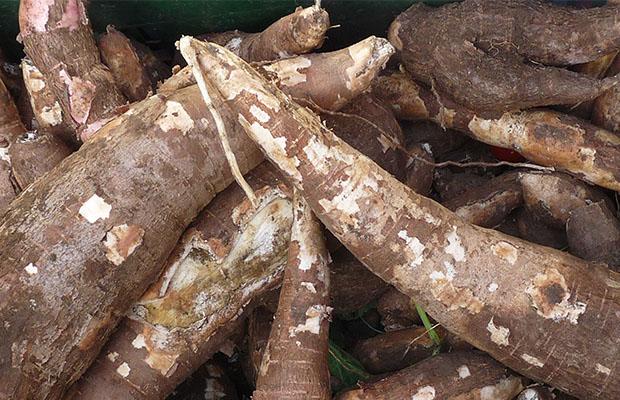 Le manioc est l'un des produits les plus utilisés en RDC. (DR)