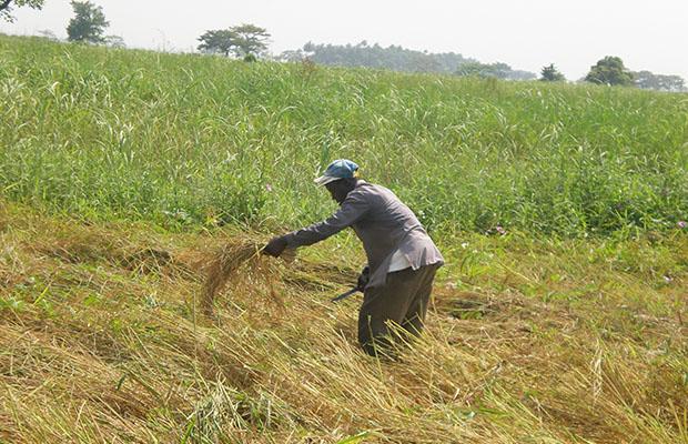 Une rizière dans la région de Beni-Butembo, province du Nord-Kivu.