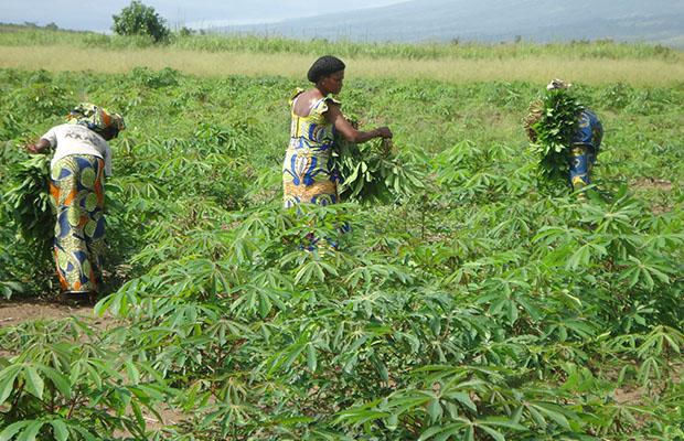 Un champ de manioc dans la province du Bandundu.