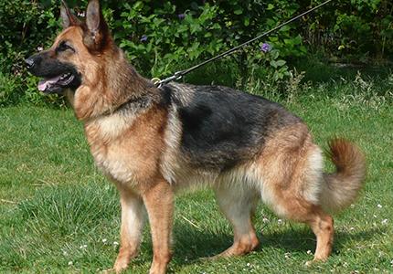 feature__0007_28_01 – German shepherd