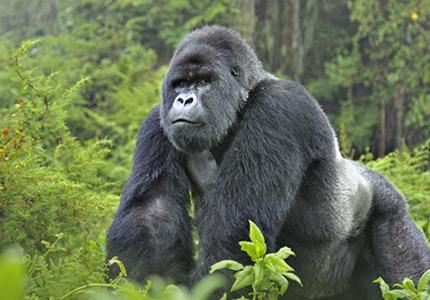 feature__0005_7_1. actualité rdc, gorille dans le parc de virunga
